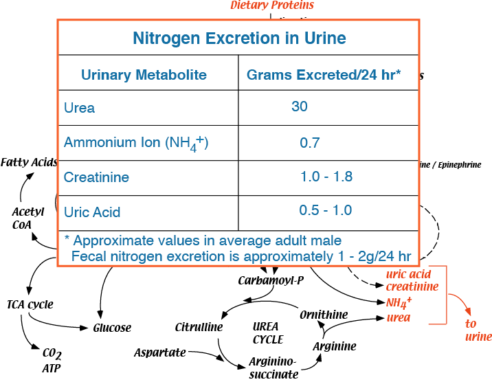 does increased protein in diet affect urine creatinine